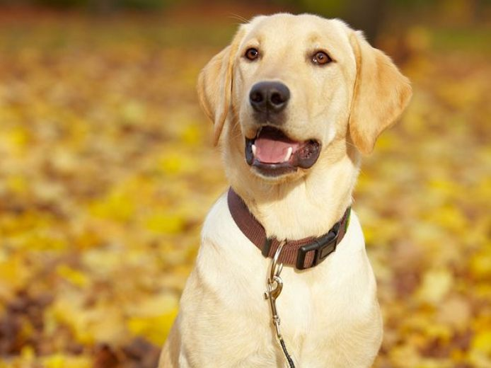 A yellow lab sits amongst the leaves